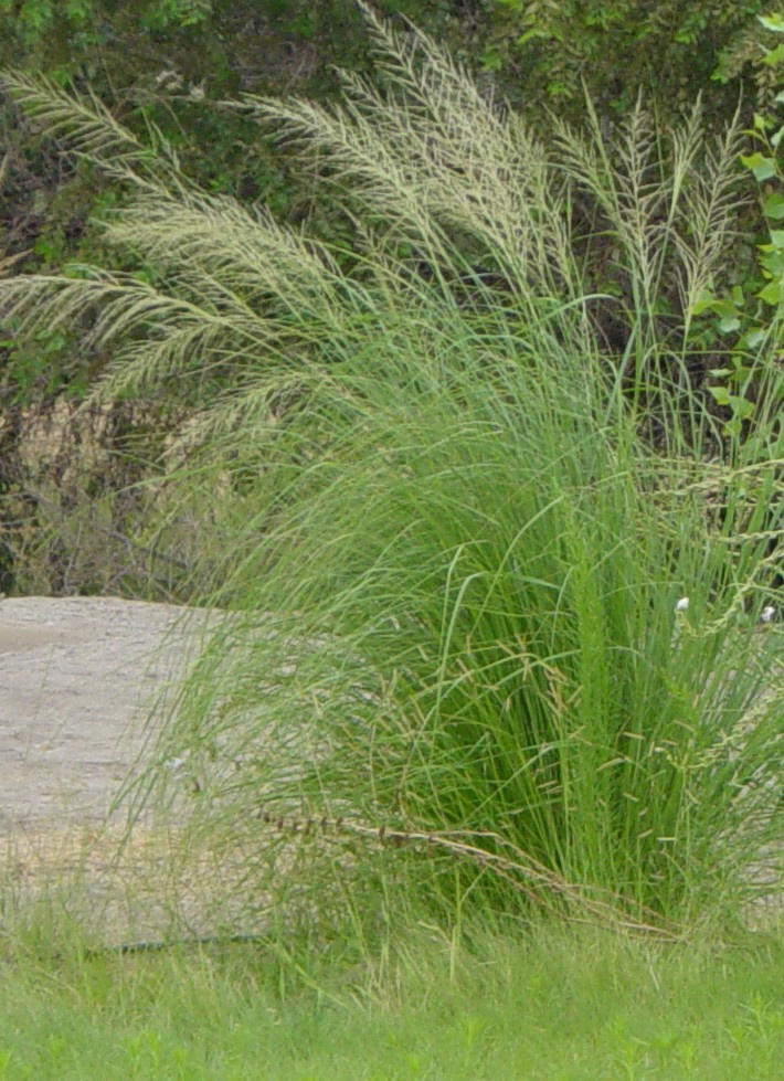 Ornamental grasses garden of edith for Giant ornamental grass