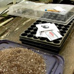 Pictured are the materials needed to start seed indoors. Peppers, eggplant, and tomatoes do better when transplanted into the garden as seedling rather than direct seeded.