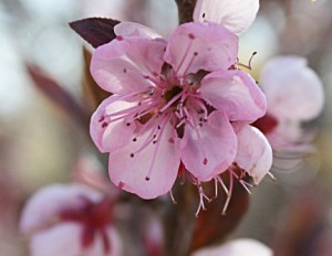 This apricot blossom is lovely now but a heavy freeze is forecast for tonight and will likely freeze this blossom.