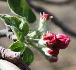 These apple blooms are almost open. Unfortunately they may never fully open because a heavy freeze is predicted for the next morning. They will like freeze and fall of the plant.