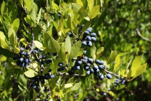 Berries on New Mexico Privet