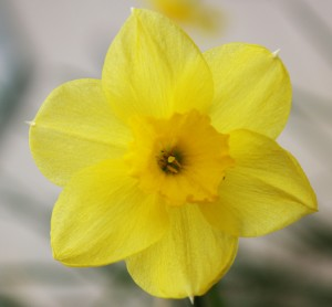 Daffodils are start blooming after the crocus are open.