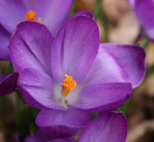 Crocus are usually the first bulbs to bloom in my desert garden.