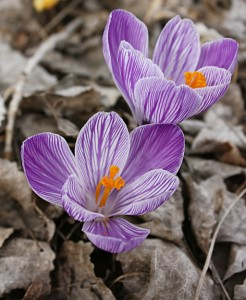 More crocus. I really like these striped crocus.