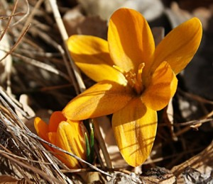 These yellow crocuses are usually the first to bloom in my garden.