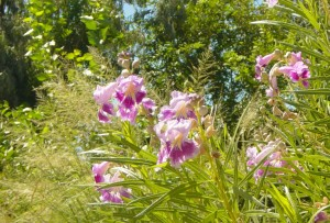 This is a close of of the blossoms on my desert willow.