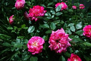 If you have not already ordered your roses you will want to do so soon so they arrive in time for spring planting. Most people associate roses with high maintenance and needing a lot of water. Yet, not all roses have the same requirements. In fact, many of the roses we see in the catalogs are descendant from roses native to arid regions. My high desert garden can be bitter cold in winter, baking hot in summer. The roses I have found that do best in my garden are the miniature roses and very dry. I think the small leaves and small roses may have something to do with their success. When I first got married, my mother-in-law a rose lover saw I had some potted miniature roses I moved with me to Nevada. She asked me about them and I told her the story of how I fell in love with my friend's miniature roses. Shortly after my husband and I married, three miniature roses appeared on my doorstep. They were from my mother in-law. These three miniature roses still thrive in my garden to this day 31 years later. This is longer than any old fashion shrub roses, hybrid tea, and florabundas I have planted over the years. They have even survived through several winters where we had a few days of subzero morning lows. I have tried many old shrub roses, tea roses, and floribundas but none have lived and thrived as long as the miniature roses my mother in-law gave me. Not only do the miniature roses live longer but they are more reliable bloomers. When daytime highs reach 100°F, roses with larger blooms stop blooming. The miniature roses keep blooming in spite of the 100°F+ daytime temperatures. Sometimes the large flowered roses try to bloom in the hottest part of the summer but their blooms only last a day before they either shatter or start try out and wither. In comparison, blooms on the miniature roses during the hottest part of the summer stay fresh for at least a week before withering. Other gardeners in my area have had good luck with their larger flowered roses but it is not without a lot of work. I do not baby my roses with lots of fertilizer, pruning or extra watering. I do water my miniature roses with four hours of continuous drip irrigation every two to three days. This watering regime tapers off in fall to once a week until the first hard freeze. My miniature roses still thrive in my desert climate. This may be due to their smaller leaves and small flowers. I have a wild rose, Rosa woodsii native to my arid region that I started from seed. Its leaves and flowers are similar in size to the miniature roses. I do not even water my wild rose on our property that sits over a high water table and still it thrives. The only difference is the wild rose only blooms in late spring and will not bloom again until the next spring. I need my miniature roses if I want rose during the entire growing season. Not all miniature roses are equal when it comes to winter hardiness. When I shop the rose catalogs I always look for the most winter hardy miniature roses to plant in my garden. By selecting only the most winter hardy miniature roses, I get the added bonus of also getting the most drought tolerant roses. In the high desert where I live, having both good winter hardiness and drought tolerance is a necessity.