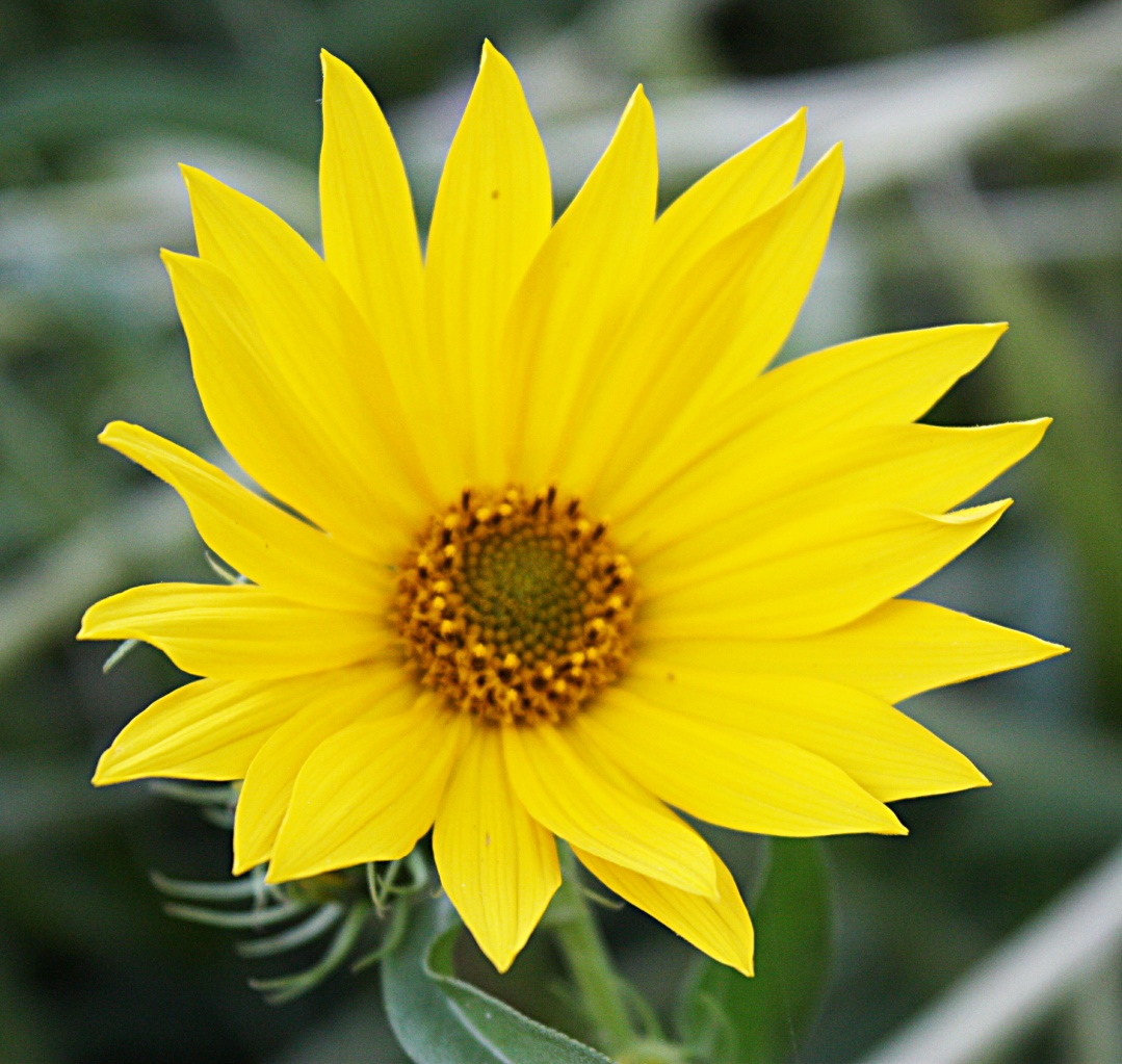 These Sunflowers May Be Small Compared To Their Annual Cousin But They Are Still Showy And